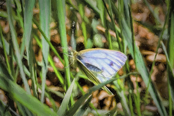 Photograph - white and blue 2013 imp1 - Butterfly with white wings and blue stripes sitting on a grass straw by Leif Sohlman