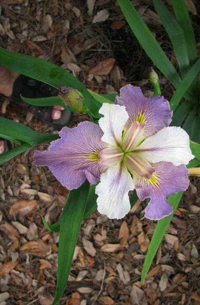 White And Lavender Iris Flower Art Print by Tom Hefko