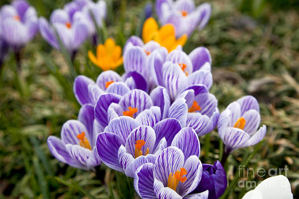 Photograph - White And Purple Crocus by Jill Lang