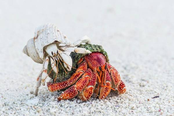 Atoll Photograph - White And Red Hermit Crabs by Peter Chadwick