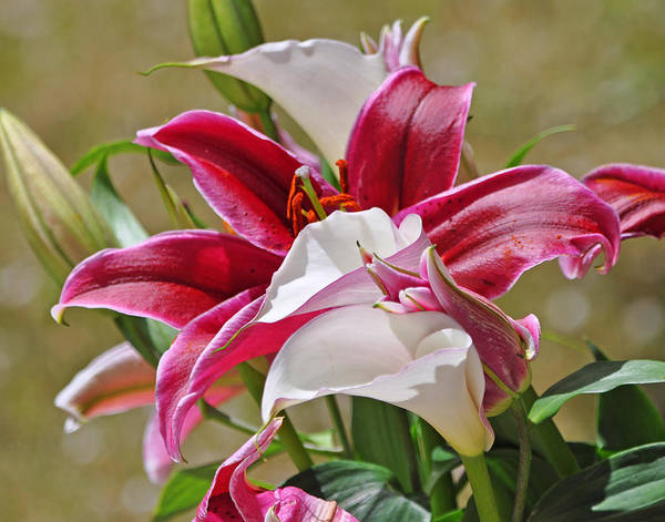 Photograph - White And Red Lilies by Lula Adams