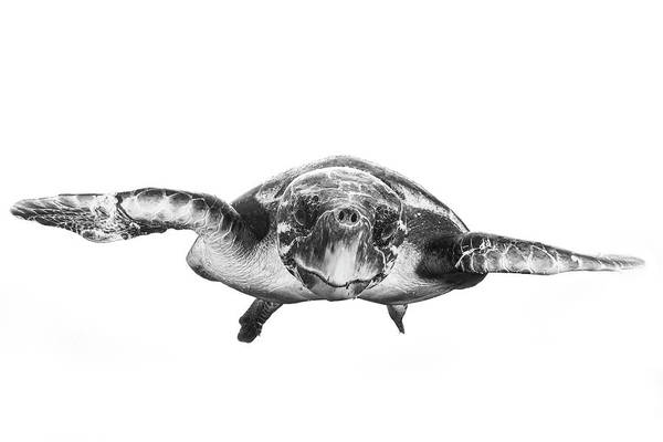 Wall Art - Photograph - White And Turtle by Barathieu Gabriel