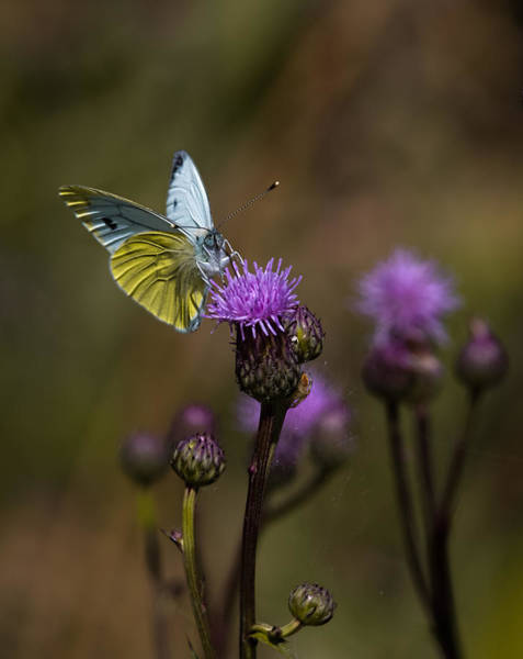 Photograph - White And Yellow Butterfly On Thistl by Leif Sohlman