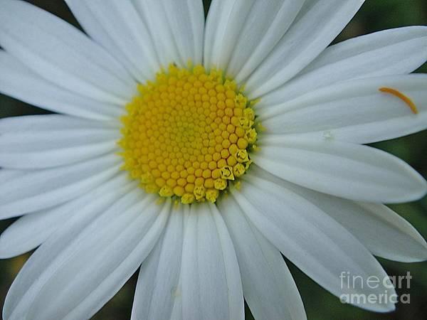 Karinravasio Wall Art - Photograph - White And Yellow Chrysanthemum by Karin Ravasio