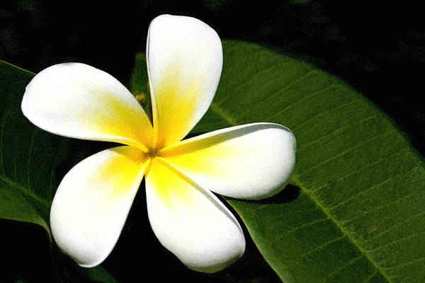 Painting - White And Yellow Frangipani 002 by Dean Wittle