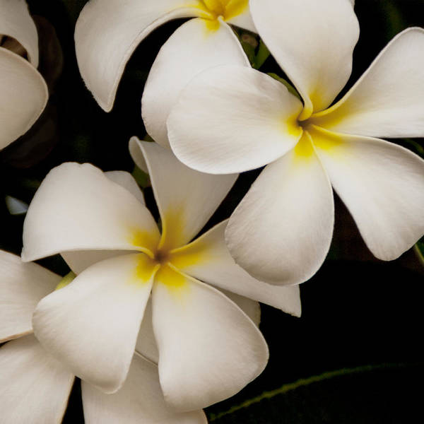 Wall Art - Photograph - White And Yellow Plumeria - Kauai Hawaii by Brian Harig