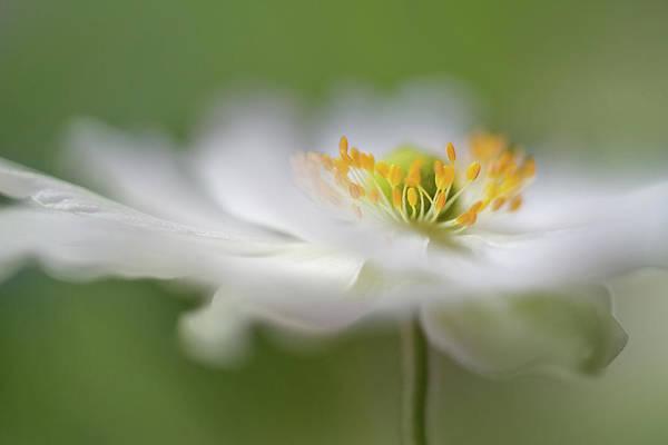 Soft Wall Art - Photograph - White Anemone by Mandy Disher