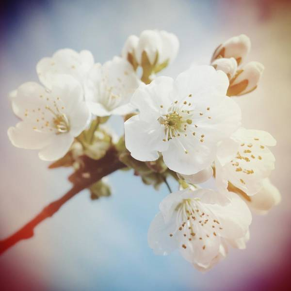 Detail Photograph - White Apple Blossom In Spring by Matthias Hauser
