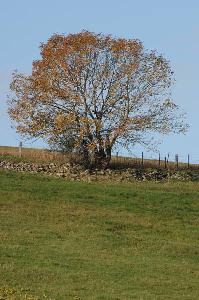 Wall Art - Photograph - White Ash Tree In Fall by John W. Bova