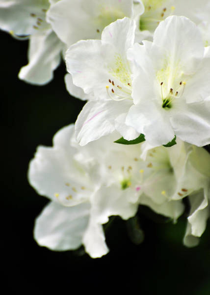 Photograph - White Azalea Flowers by Rebecca Sherman