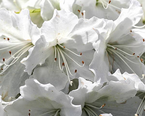 Photograph - White Azaleas by William Selander