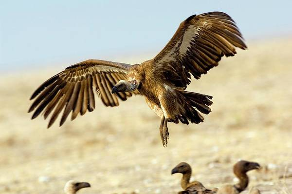 Accipitridae Wall Art - Photograph - White-backed Vulture In Flight by Tony Camacho/science Photo Library