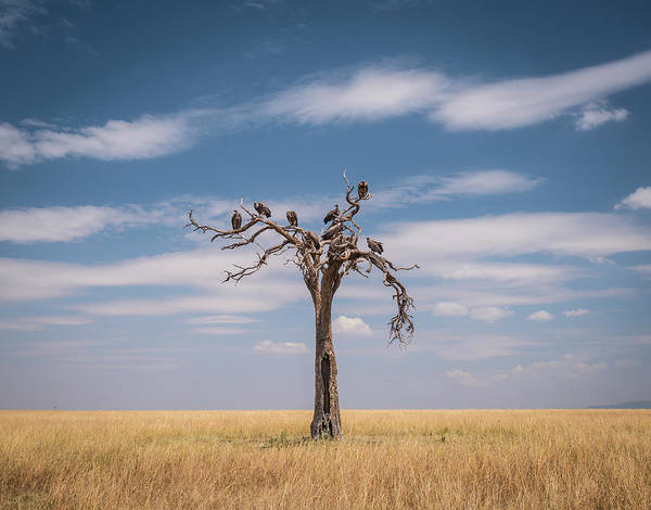 White-backed Vultures In Dead Tree Art Print