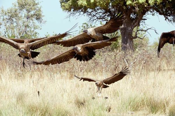 Accipitridae Wall Art - Photograph - White-backed Vultures In Flight by Dr P. Marazzi/science Photo Library
