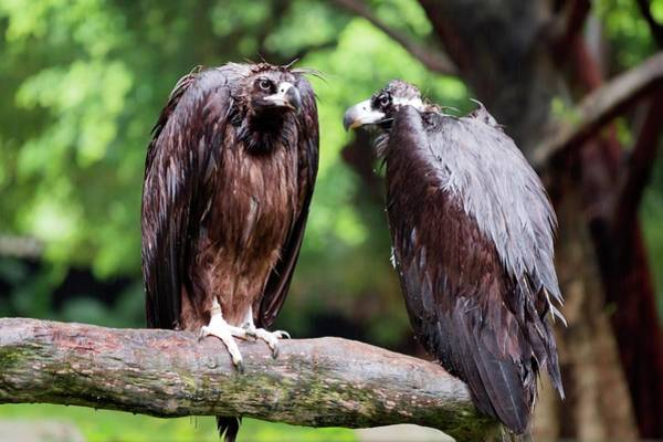 White-backed Vultures In The Rain Art Print
