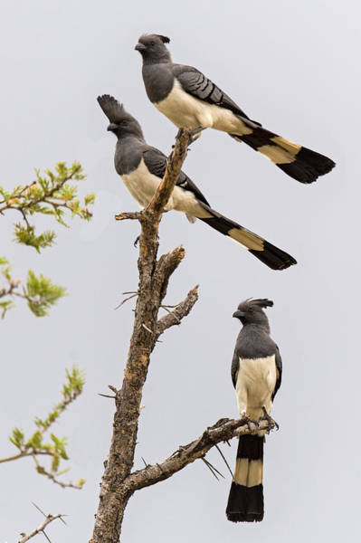 Tarangire Photograph - White-bellied Go-away Birds by Panoramic Images