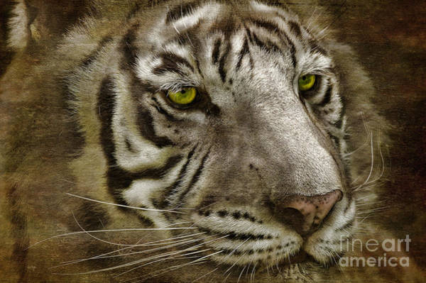 Wall Art - Photograph - White Bengal by Lois Bryan