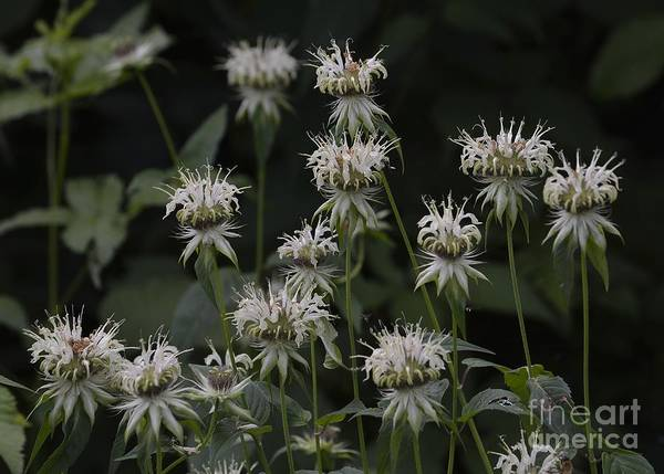 Photograph - White Bergamot by Randy Bodkins