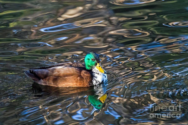 Photograph - White-bibbed Mallard by Kate Brown