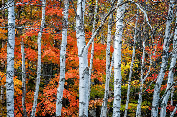 Photograph - White Birch Forest - White Mountains by T-S Fine Art Landscape Photography