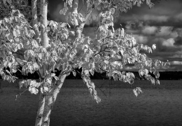Photograph - White Birch Tree By The Lakeshore In Black And White by Randall Nyhof