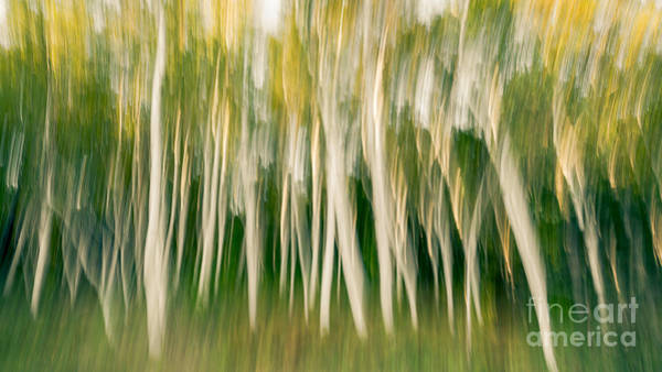 Michael Photograph - White Birch Trees Abstract Muted by Michael Ver Sprill