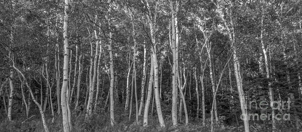 Michael Photograph - White Birch Trees Pano Bw by Michael Ver Sprill