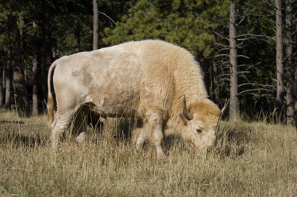 Wall Art - Photograph - White Bison Symbol Of Hope And Renewal by Animal Images