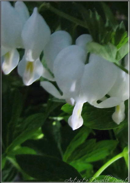 Photograph - White Bleeding Hearts by Danielle  Parent