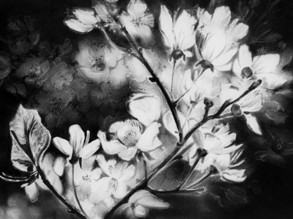 Blooming Tree Drawing - White Blossom by Natasha Denger