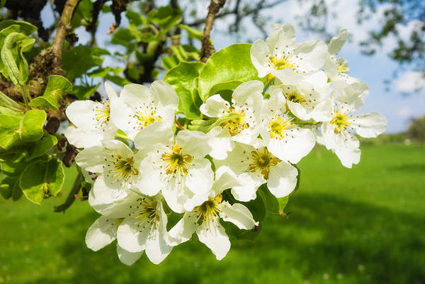 Photograph - White Blossom On Apple Tree In Spring by Matthias Hauser