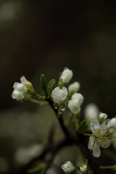 Hessen Photograph - White Blossoms Of A Fruit Tree Covered by Sebastian Kujas
