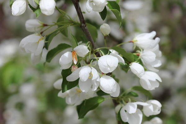 Photograph - White Blossoms Opening by Donna L Munro