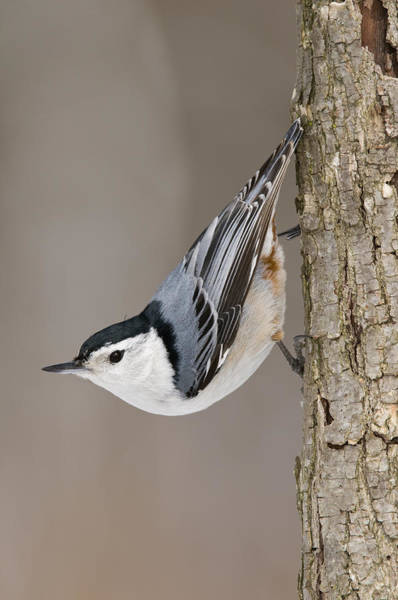 Sitta Carolinensis Photograph - White-breasted Michigan by Steve Gettle