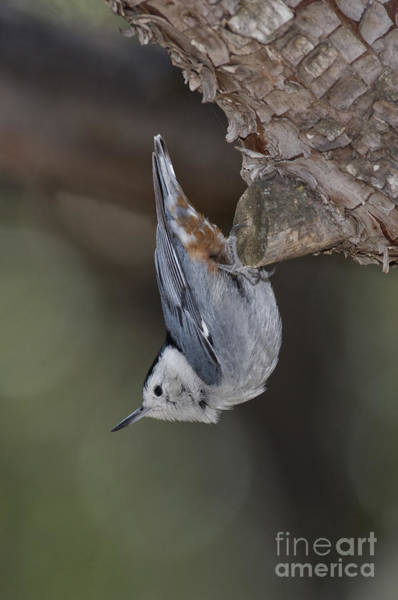 Sitta Carolinensis Photograph - White-breasted Nuthatch by Anthony Mercieca