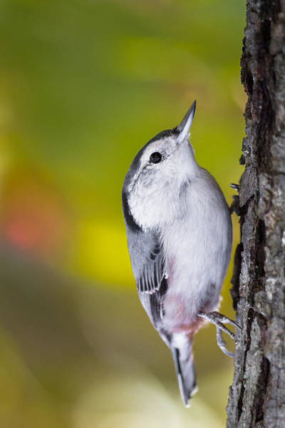 White-breasted Nuthatch Photograph - White Breasted Nuthatch by Bill Wakeley