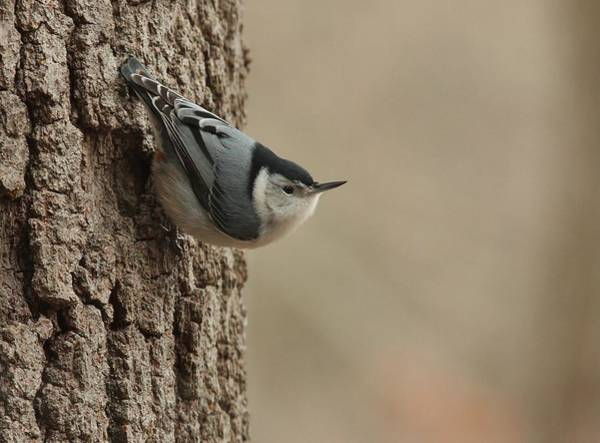 White-breasted Nuthatch Art Print