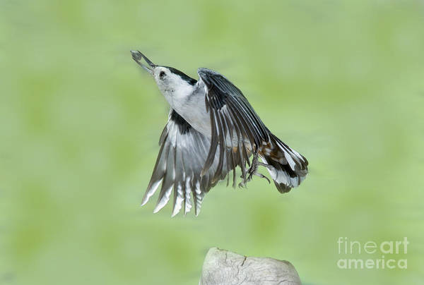 Sitta Carolinensis Photograph - White-breasted Nuthatch Flying With Food by Anthony Mercieca
