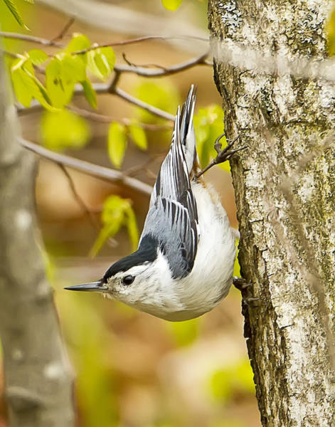 Sitta Carolinensis Photograph - White Breasted Nuthatch by John Vose