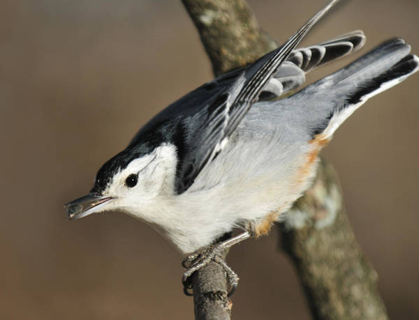 White-breasted Nuthatch Photograph - White Breasted Nuthatch by Lara Ellis
