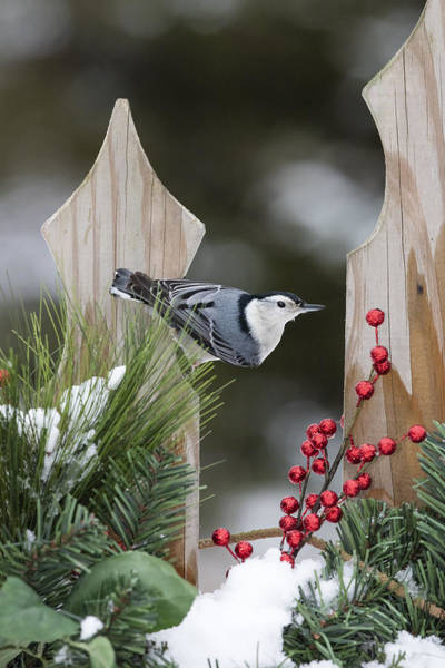 Sitta Carolinensis Photograph - White-breasted Nuthatch by Linda Arndt