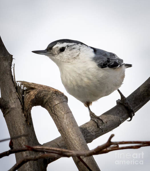 Photograph - White-breasted Nuthatch by Ricky L Jones