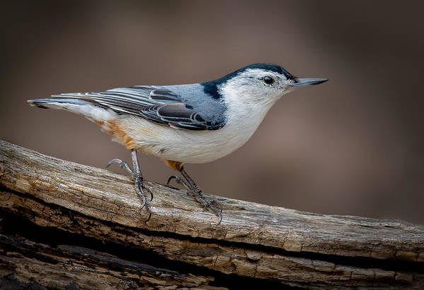 Photograph - White Breasted Nuthatch by Steve Zimic
