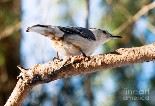 Sitta Carolinensis Photograph - White-breasted Nuthatch by Terry Elniski