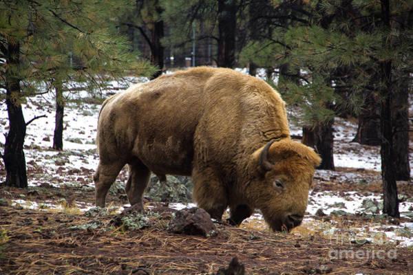 Photograph - White Buffalo by Jim McCain