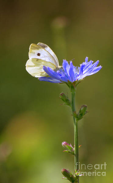 Photograph - White Butterfly And Blue Flower by Rima Biswas