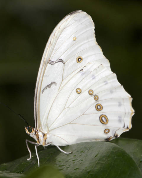 Photograph - White Butterfly by Bob Slitzan