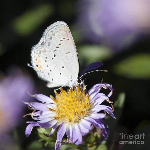 Photograph - White Butterfly by Chris Scroggins