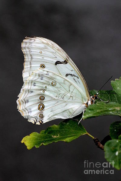 Photograph - White Butterfly by Jeremy Hayden
