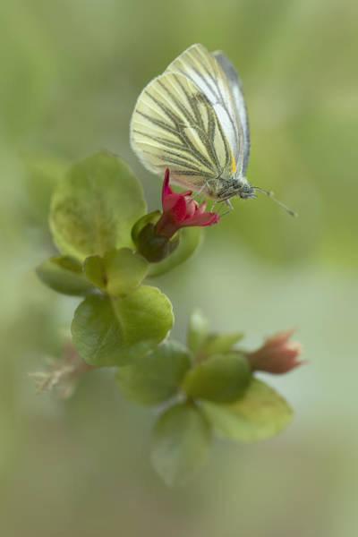 Wall Art - Photograph - Pieris Napi Butterfly On A Red Flower by Jaroslaw Blaminsky